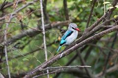 Skogsmarkkingfisher Arkivfoto
