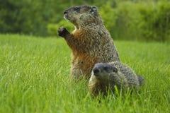 skogsmurmeldjur Fotografering för Bildbyråer