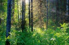 Skogsolen rays den ljusa trädskogen Royaltyfri Fotografi