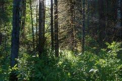 Skogsolen rays den ljusa trädskogen Arkivfoton