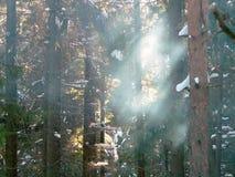 skogsolljus royaltyfri foto