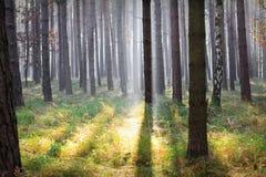 skogsolljus Arkivfoto
