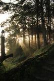 skogsolljus Arkivbild