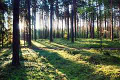 skogsoluppgång Arkivbild