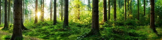 Skogsoluppgångpanorama royaltyfria bilder