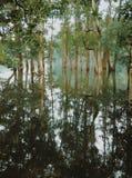 Skogspegel Arkivbilder