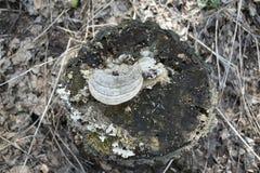 Skogstubbe med champinjonen ?verst och att torka gr?s omkring royaltyfri bild