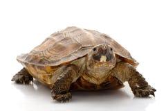 skogsulawesi sköldpadda royaltyfria bilder