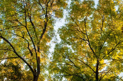 Skogträd i höstbakgrund Royaltyfria Bilder