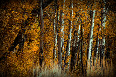 Skogträd i nedgången Arkivfoto