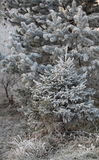 Skogträd i rimfrost Arkivfoton