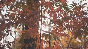 Skogträd på höstnedgångsäsongen ljust skina för solstråle igenom lager videofilmer