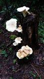 Skogträdstubbe med tillväxt för vit svamp Royaltyfria Foton