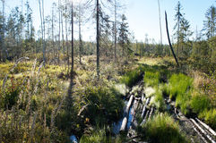 Skogträslinga på träsk Royaltyfri Bild