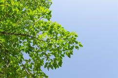 Skogträdet och den blåa himlen Arkivfoto