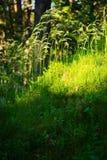 Skogundervegetationvegetation Gräs att växa på det örtartade lagret av understory eller snårskog på skoggläntan Royaltyfria Bilder