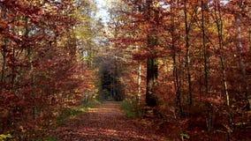 Skogväg till och med en höstlig skog arkivfilmer