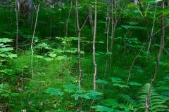 Skogväxter av den mellersta musikbandet Grön färg Arkivbilder