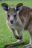 Skogvaktare Kangaroo 2 Arkivfoto