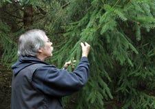 Skogvaktare som kontrollerar ett sörjaträd Royaltyfri Foto