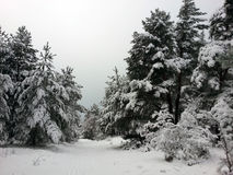 Skogvinter Mycket snö Fotografering för Bildbyråer