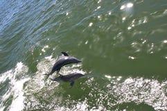 skok delfinów Obraz Stock
