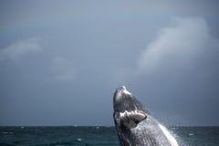 Skok humpback wieloryb Zdjęcia Stock