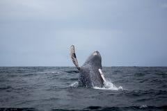 Skok humpback wieloryb Zdjęcia Royalty Free