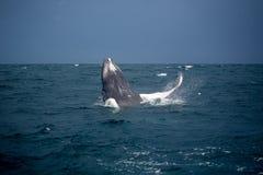 Skok humpback wieloryb Obraz Stock