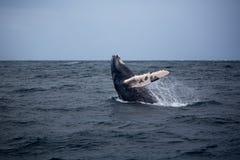 Skok humpback wieloryb Zdjęcie Royalty Free
