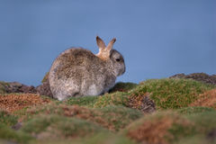 Skokholm Island rabbit amongst sea cushions. A skokholm Island rabbit sitting amongst sea cushions on the edge of a cliff Royalty Free Stock Photos