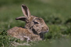 Skokholm Island Rabbit with cocked ear. A Skokholm Island rabbit rests in the May sunshine Stock Photo