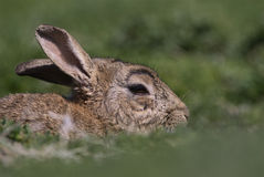 Skokholm Island rabbit hiding. A Skokholm Island rabbit hides in the grass Stock Photography