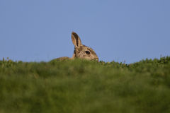 Skokholm Island rabbit on the horizon. A Skokholm Island rabbit showing itself on the horizon Royalty Free Stock Images