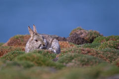 Skokholm Island Rabbit scratching. A Skokholm Island Rabbit scratching itself whilst sitting in a patch of sea cushions Stock Image
