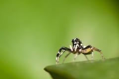 Skokowa pająk samiec Phintella versicolor na krawędzi zielony liść Obrazy Stock