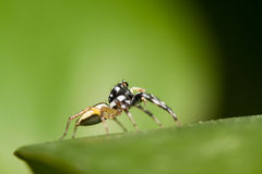 Skokowa pająk samiec Phintella versicolor na krawędzi zielony liść Zdjęcia Royalty Free
