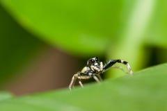 Skokowa pająk samiec Phintella versicolor na zielonym liściu Obraz Royalty Free