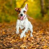 Skokowa zabawa i szczęśliwy zwierzę domowe Zdjęcia Royalty Free