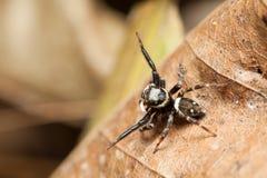 Skokowe pająk samiec Hasarius adansoni podwyżki ręki onieśmielać Zdjęcia Royalty Free
