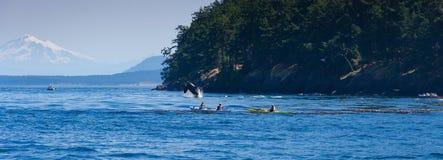 Skokowej orki wielorybia pobliska kajakarka Obraz Royalty Free