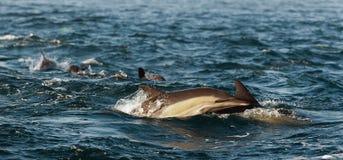 Skokowi delfiny. Zdjęcia Royalty Free