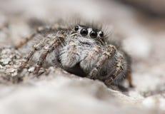 Skokowi pająka Philaeus chrysops w republika czech fotografia royalty free