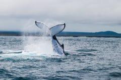 Skokowy Humpback wieloryb zdjęcia stock