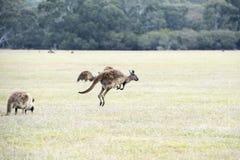 Skokowy kangur przy świtem fotografia royalty free