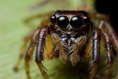 skokowy pająk zdjęcie stock