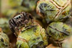 Skokowy pająk i pączki Obraz Royalty Free