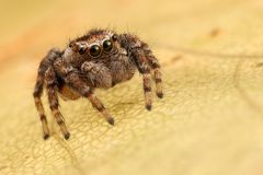 Skokowy pająk jesieni liść Obrazy Stock