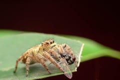 Skokowy pająk myśliwy Obrazy Stock