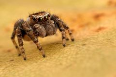 Skokowy pająk na jesień liściu Zdjęcia Stock
